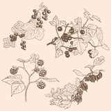 Set of berries. Red currant, black currunt, raspberry, gooseberry. Hand drawn vector illustration Royalty Free Stock Image
