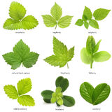 Set of berry leaves Stock Photography