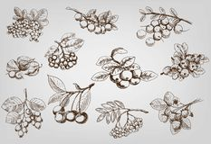 Set of berry. Berry. set of vector sketches Stock Photography