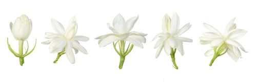 Set Biały kwiat, Tajlandzki jaśminowy kwiat odizolowywający na białym tle obrazy royalty free