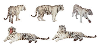Set biały tygrys. Odizolowywający nad bielem Zdjęcie Royalty Free