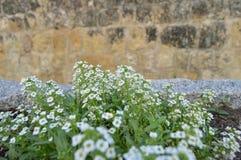 Set biali kwiaty w starej ulicie Fotografia Stock