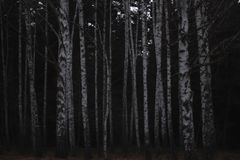 Set of birches, and behind darkness royalty free stock images