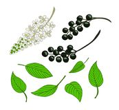 a set of bird cherry. Isolated berries, flowers and leaves of Mayday tree Royalty Free Stock Images
