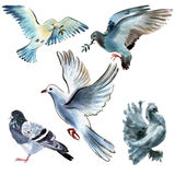 Set of birds doves. Watercolor illustration in white background. Royalty Free Stock Photo