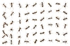 Black ants Royalty Free Stock Photos