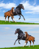 Set - black mare and sorrel foal gallop. Black mare and sorrel foal gallop on field stock photo
