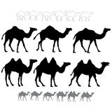 Set of black silhouettes vector camels. Isolated on white background vector illustration