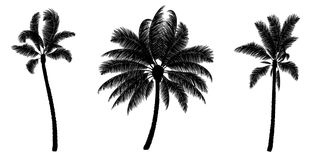 Set of black vector palm. Hand drawn trees. Set of black vector palm isolated on white. Hand drawn trees. Parts for design Stock Photography