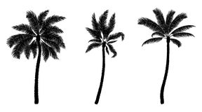Set of black vector palm. Hand drawn trees. Set of black vector palm isolated on white. Hand drawn trees. Parts for design Stock Image
