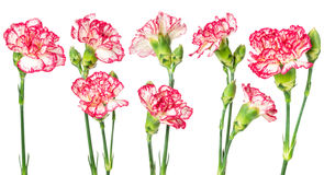 Set of blooming carnation Stock Photos