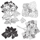 Set of blooming hydrangea, black and white Stock Images