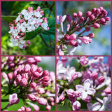 Set. Blooming lilacs Royalty Free Stock Photography