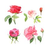 Set of blooming roses. Watercolor botanical illustration of roses. Postcard for congratulations, wedding or invitation vector illustration
