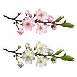 Set of Blossoming cherry branches. Blossoming cherry branch with white flowers and Sakura branch with pink flowers . Realistic vector illustration Royalty Free Stock Photo