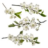 Set of Blossoming cherry branches. With white flowers. Symbols of coming spring. Realistic vector illustration Stock Photography