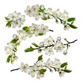 Set of Blossoming cherry white flowers. And leaves isolated on white background for spring greeting card, banner, wallpaper or poster. Vector illustration Stock Photography