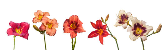 Set of 5 blossoming flowers daylily Royalty Free Stock Photos