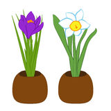 Set of blue narcissus and purple crocus flower in pots. Flat illustration isolated on white background. Vector illustration Royalty Free Stock Photos