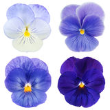Set of blue pansy Stock Image