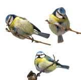 Set Blue Tit isolated Parus caeruleus Royalty Free Stock Image
