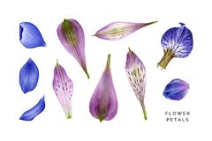 Set of blue and violet petals. Alstroemeria, hepatica, iris and delphinium. Hand painted watercolor illustrations isolated on white.  Realistic botanical art Stock Photo