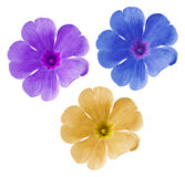 Set  blue-yellow-purple  flowers. Garden violets.  White isolated background with clipping path.  Closeup.  no shadows. Stock Photos