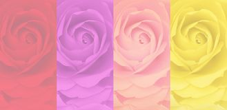 Set of blurred rose background, 4 color, red, purple, pink, yellow. Stock Photos