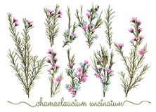 Set of botanic floral elements. Chamaelaucium waxflower collec royalty free illustration