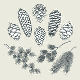 Set botanical elements - cones and branches of pine, spruce. Set of vector botanical elements - cones and branches of pine, spruce, larch, isolated on white royalty free illustration