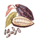 Set of botanical illustration. Watercolor cocoa fruit collection isolated on white background. Hand drawn exotic cacao. Plants vector illustration