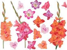 Set of bright gladiolus flowers. Illustration with gladiolus flowers isolated on white Stock Image