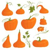 Set of bright pumpkins of different shapes with leaves and flower isolated on white background. Vector illustration royalty free illustration