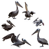 Set of brown pelicans Royalty Free Stock Photos