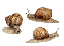 Set of three brown snails isolated on white Royalty Free Stock Photos