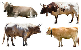 Set of bulls and cow. Isolated over white Stock Photo