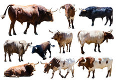 Set of bulls. Isolated over white Stock Photo