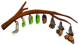 A Set of Butterfly Life Cycle stock illustration