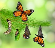 A Set of Butterfly Life Cycle royalty free illustration