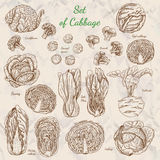 Set of cabbage. Vector illustration for your design royalty free illustration