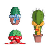 Set the cactus in the scarves. Stock Images