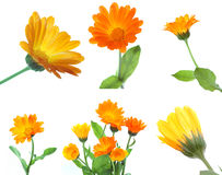 Set of calendula flowers Stock Photography