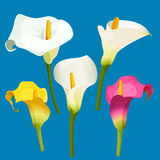 Set of calla lily in white, pink and yellow color. Arum lily realistic vector illustration. Set of calla lily of white, pink and yellow color. Zantedeschia Royalty Free Stock Photo