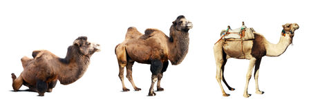 Set of camels. Isolated on white background with shade royalty free stock images