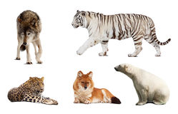 Set of Carnivora mammal. Isolated over white background with shade Royalty Free Stock Photography