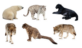 Set of Carnivora mammal  over white Stock Photos