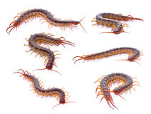 Set of centipede on white background. Royalty Free Stock Images