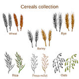 Set of cereals. Barley, rye, oats, rice, proso millet and wheat. Stock Photo