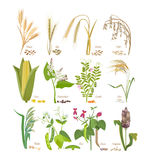 Set of cereals and legumes plants with leaves and flowers. Stock Image