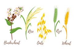 Set of cereals. Vector cartoon style set of cereals - rice, buckwheat and oats. Grain plant isolated on white background Stock Photography